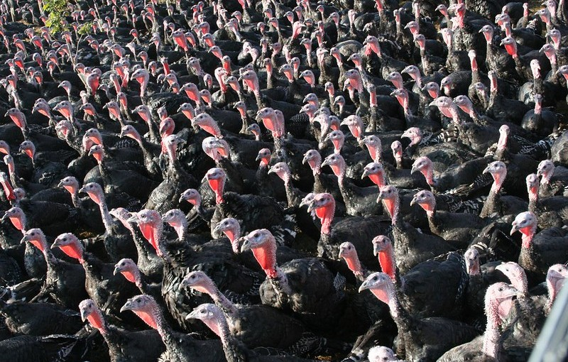 El pavo de Polonia y Francia salvará la cena de navidadbritánica